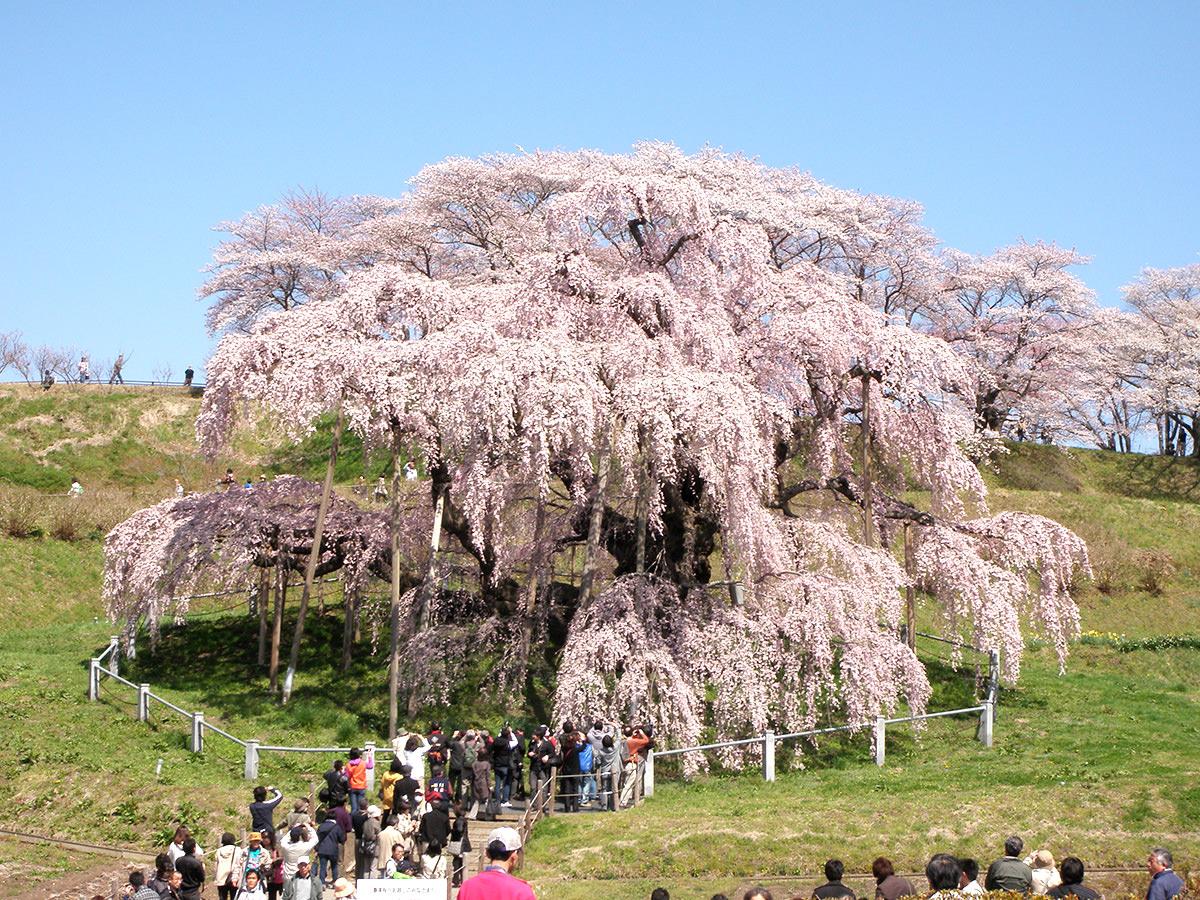 桜の季節。「花見かき」と東北の桜プロジェクトに、復興を想う_3