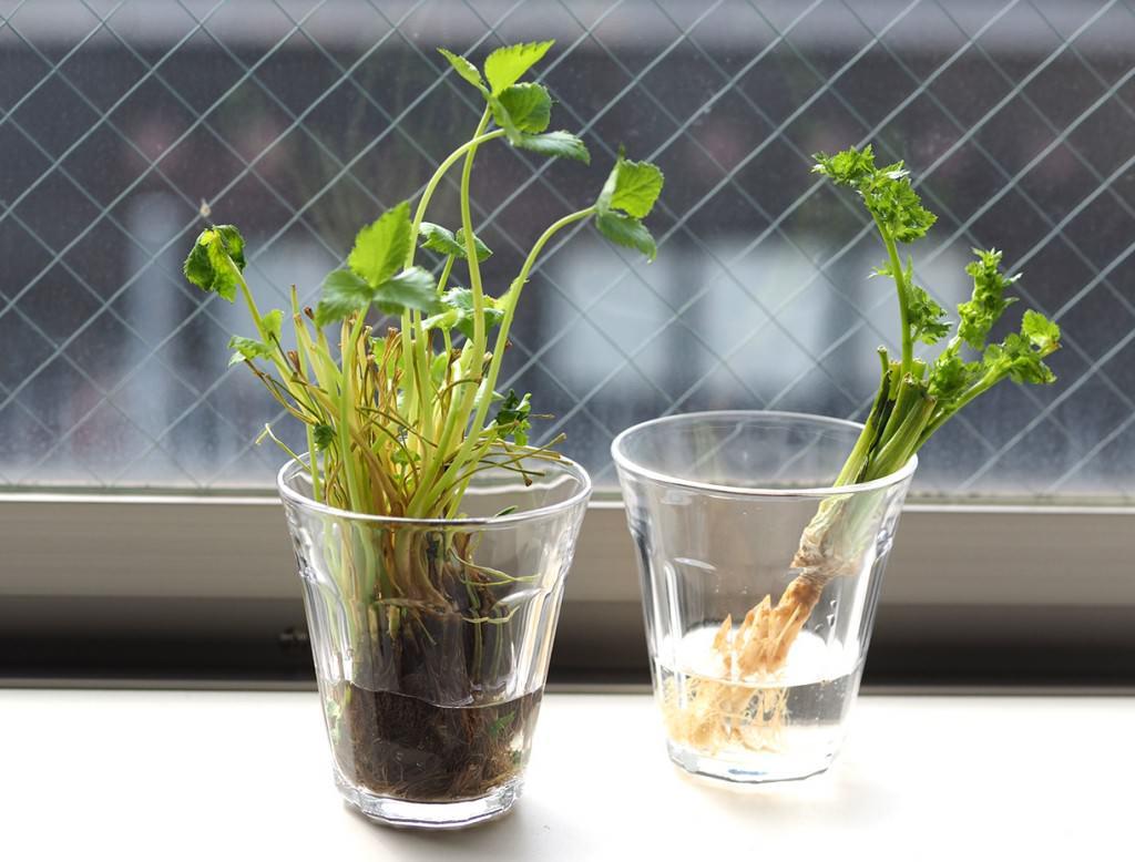 パクチーや三つ葉など、根つきで売られているハーブや香味野菜もリボベジ向き