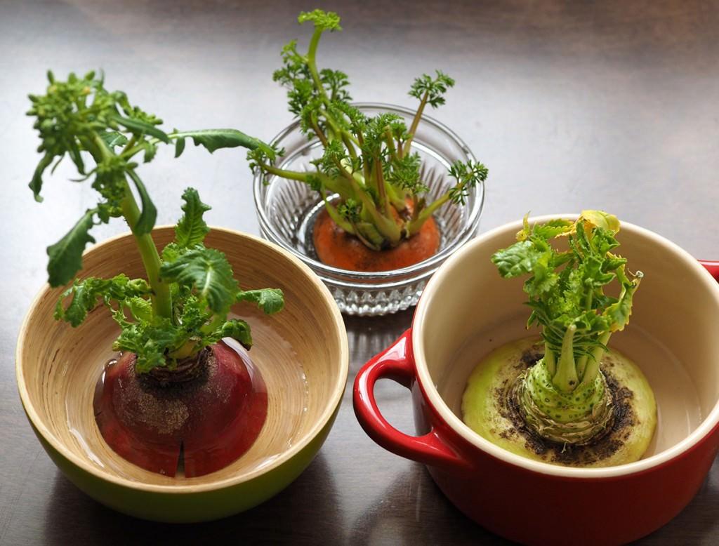 「根菜」リボベジも向いています。乾燥などにも強く生えやすいのは、にんじんや赤かぶ、大根など