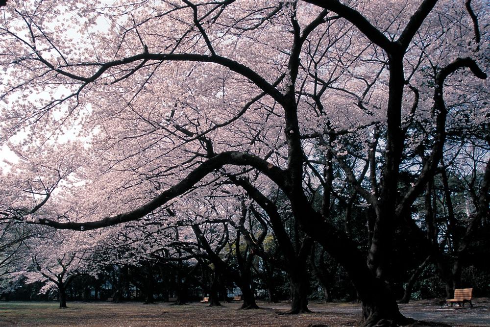【いせたんさんぽ Vol.2】 桜の理想郷「新宿御苑」_2