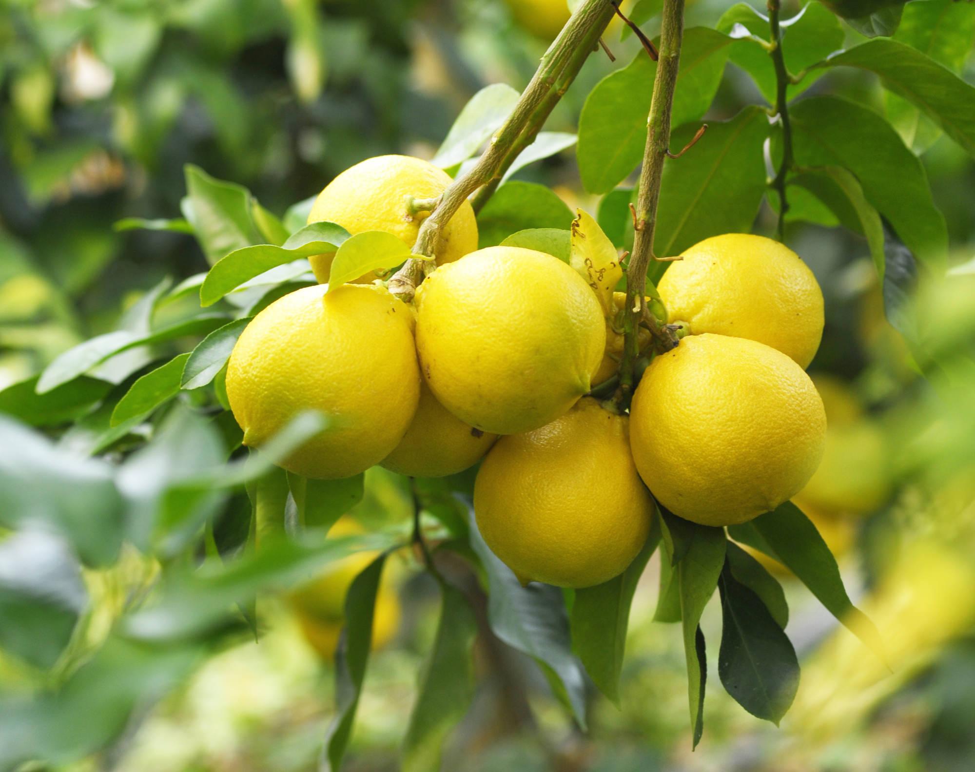 苦節5年。イタリアの柑橘類「ベルガモット」が、土佐に根付くまで_1