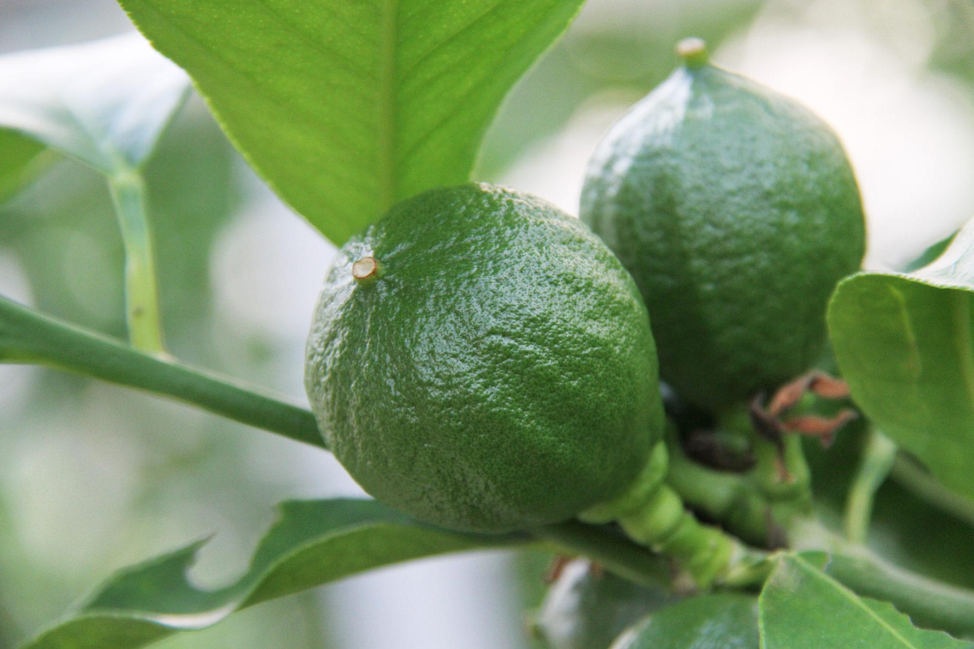 苦節5年。イタリアの柑橘類「ベルガモット」が、土佐に根付くまで_2