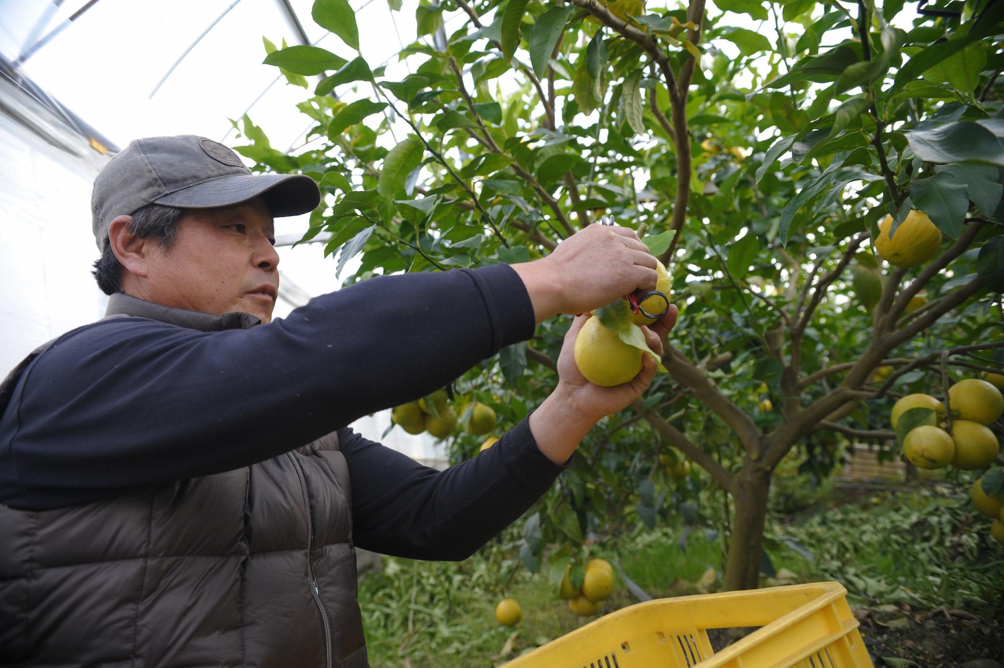 苦節5年。イタリアの柑橘類「ベルガモット」が、土佐に根付くまで_4