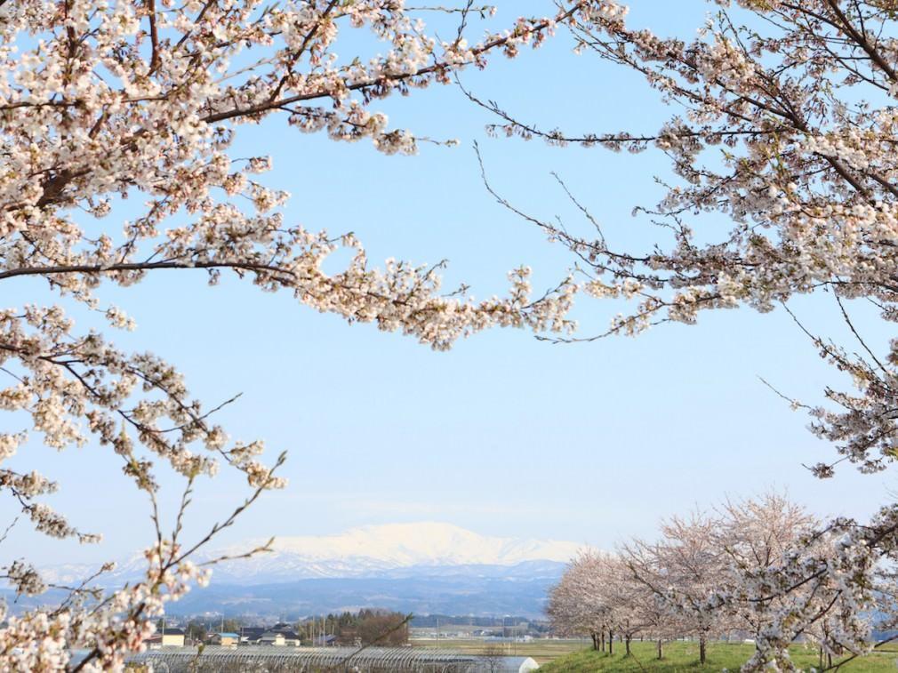 桜を追って東北へ。食の理想郷、鶴岡のお花見_01