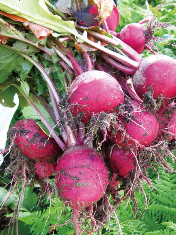 伝統農法「焼畑」育ち。余呉の「山かぶ」は強く、たくましく、滋味豊か_1