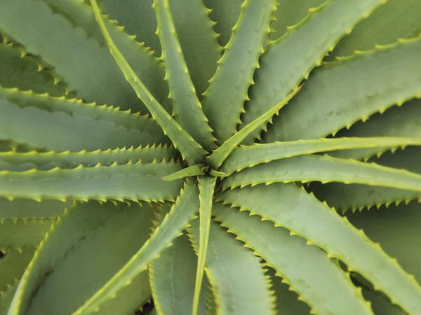 多年性の多肉植物「アロエ」の画像