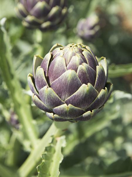 ヨーロッパ生まれのおしゃれな野菜、アーティチョークがブームの予感!_2