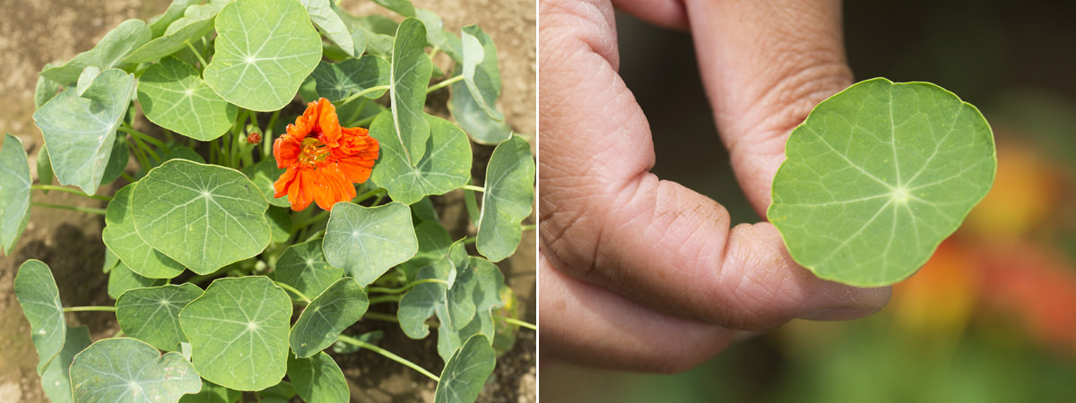 鮮やかな花をつけたナスタチュームの画像