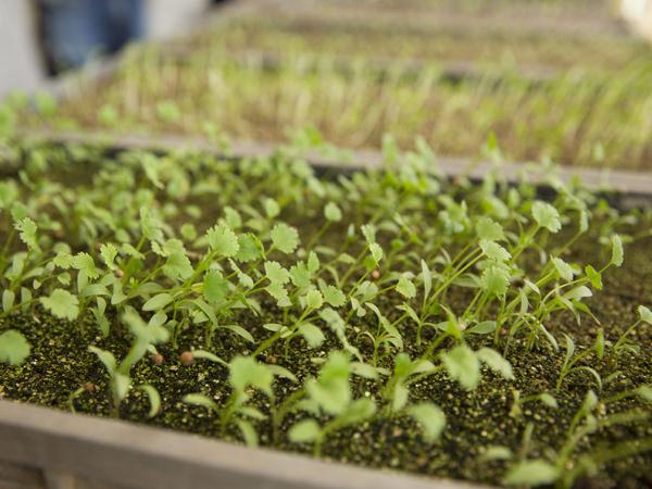 野菜やハーブの芽を摘んでいただくマイクロハーブの画像