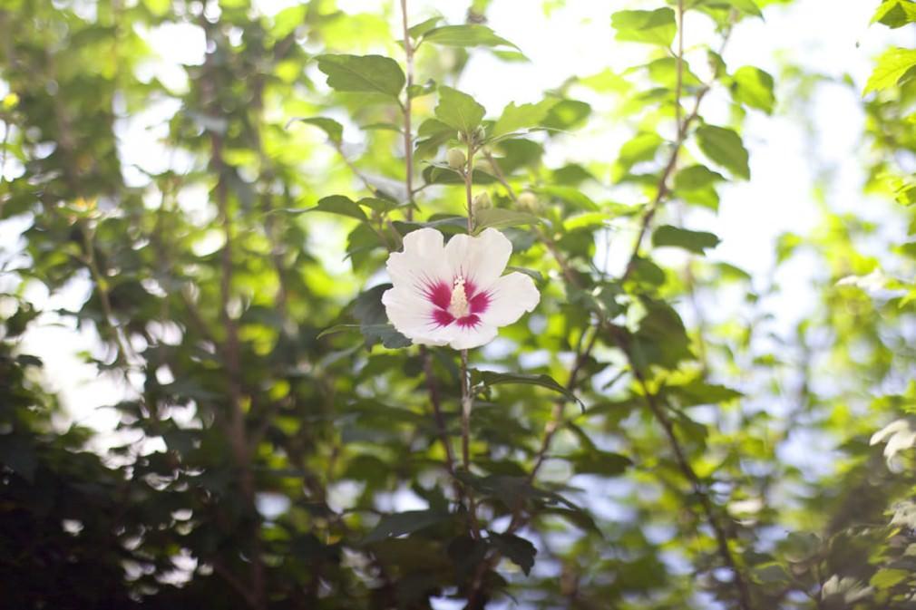 咲いている芙蓉の花