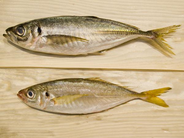 網どりアジと一本釣りアジの見た目の比較