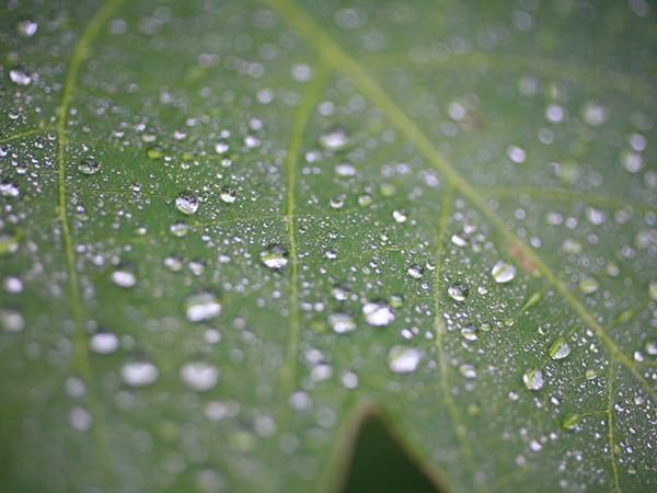 朝晩に露を結ぶ白露の時候、葉の上の露