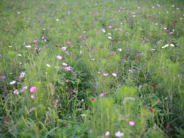 秋を彩る代表的な花、コスモスが群生する草原