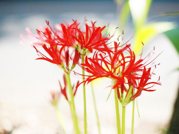 燃え上がる紅の曼珠沙華、彼岸花の花