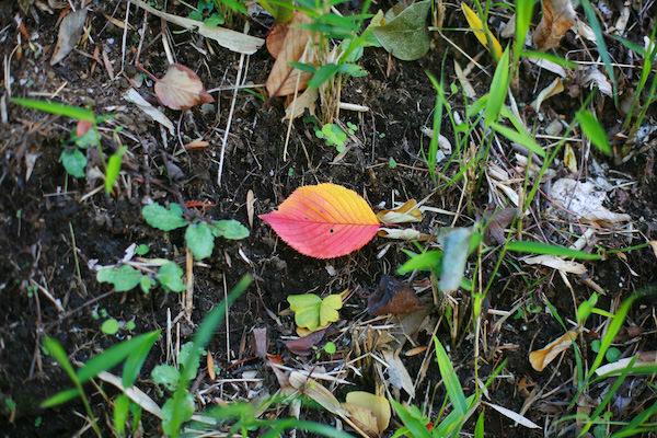 紅に染まったひとひらの落ち葉