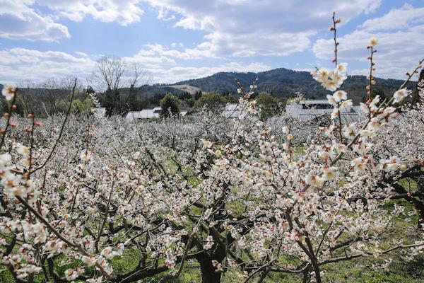梅が咲き誇る叶 匠壽庵の里山