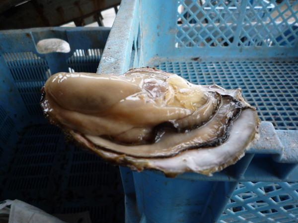 三重県桃取産牡蠣