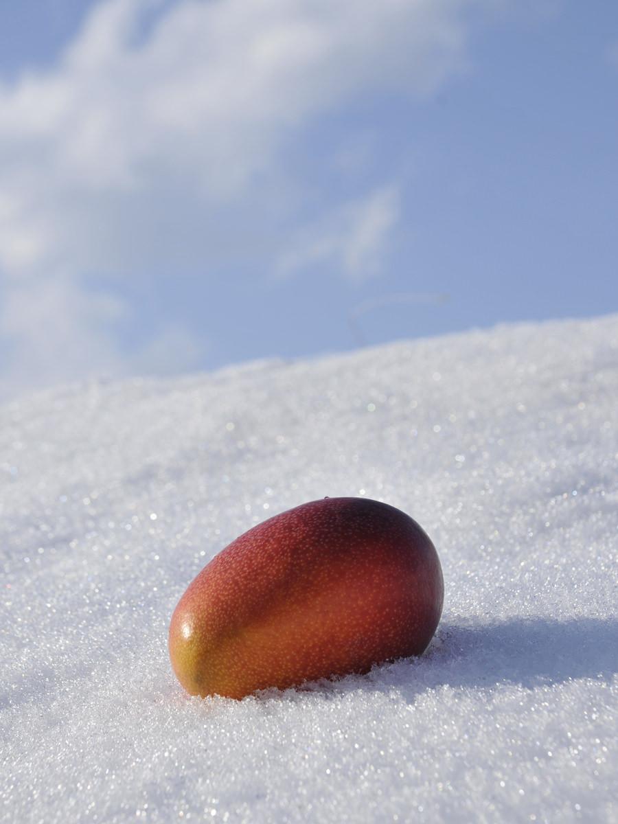 白銀の雪の上にのる完熟マンゴー