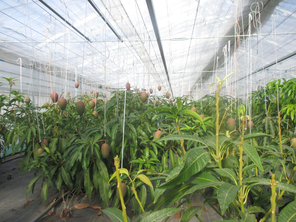 温室内で豊かに育つマンゴー