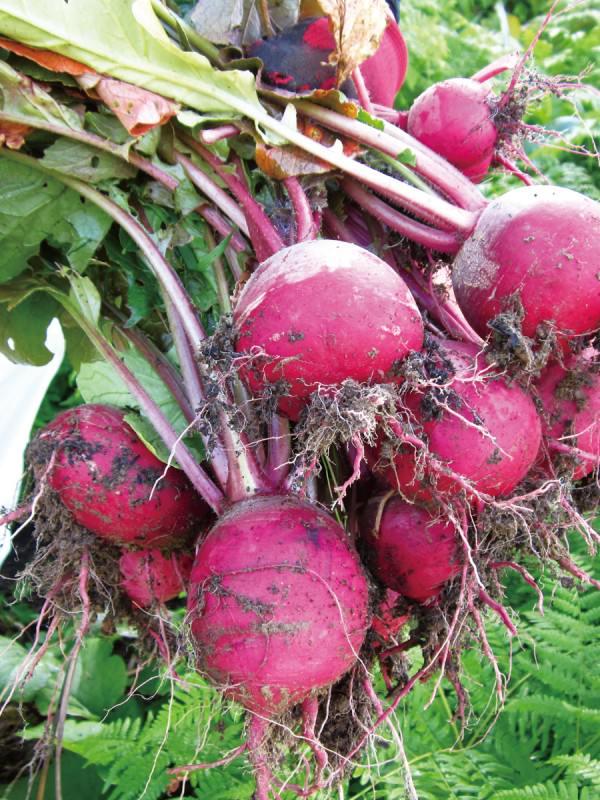 伝統農法「焼畑」育ち。余呉の「山かぶ」は強く、たくましく、滋味豊か