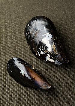 おいしいムール貝の選び方