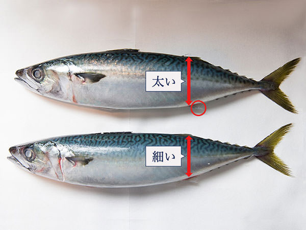 alt:おいしい鯖の見分け方