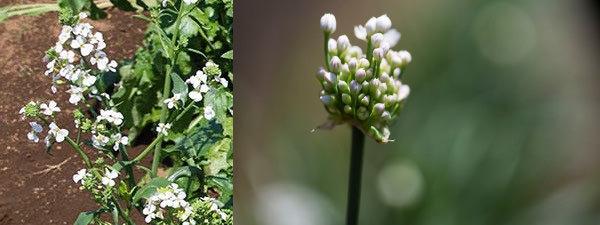 大根の花とニラの花