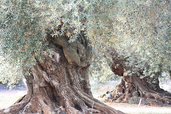 樹齢1,000年のオリーブの木