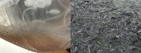 (左)うなぎの稚魚 (右)うなぎの養殖所