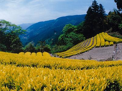 黄金みどりの茶畑