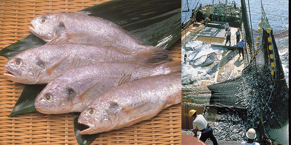 かまぼこの原料となるグチ。オキギスの漁は鈴廣の専用船を出す