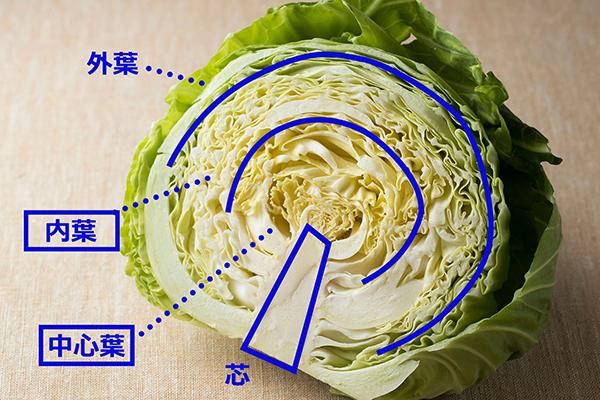 キャベツの部位を表す図解