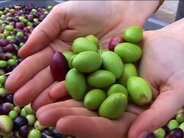 収穫したばかりのグリーンオリーブ