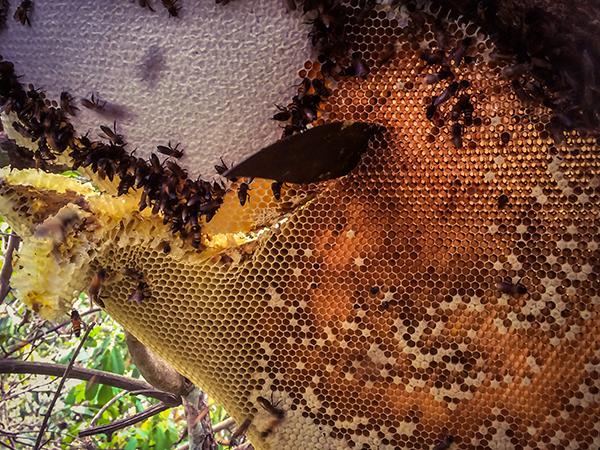 ハチの巣と蜂