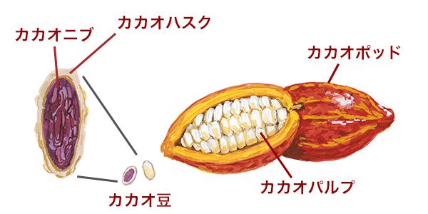 カカオニブの図解