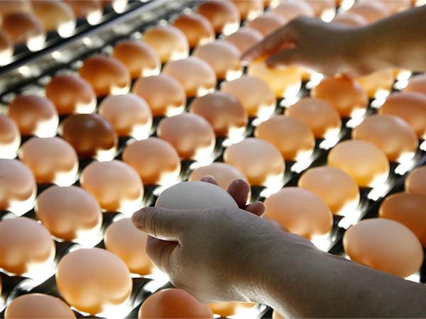 パック詰め前に汚れやヒビがないか卵を1つ1つ点検する様子