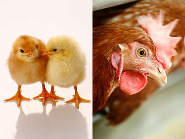 ヒナと親鶏