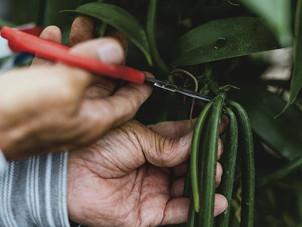 バニラビーンズ栽培の様子