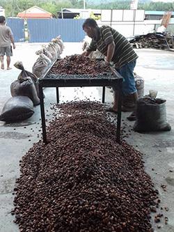 カカオ豆を発酵させるための準備作業