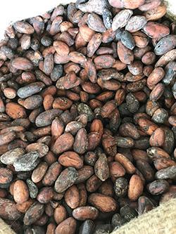 乾燥を終えたカカオ豆