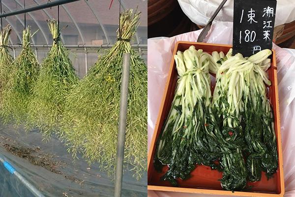 左:種採取の様子、右:潮江菜の漬物