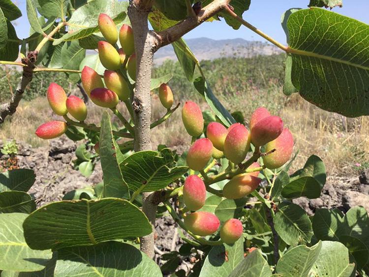 シチリアで栽培されているピスタチオの実