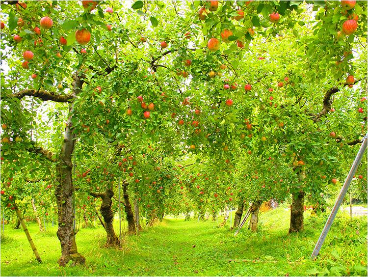 <藤田農園>りんご畑