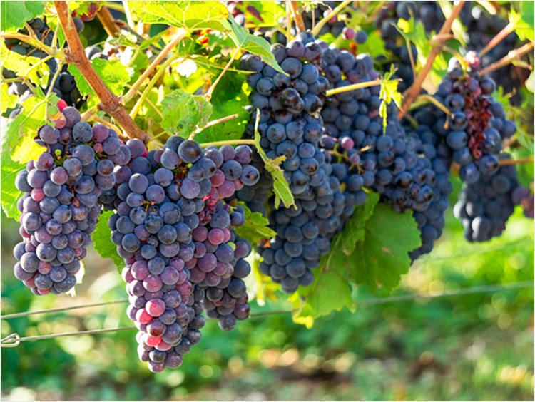 フランスのブドウ畑のイメージ